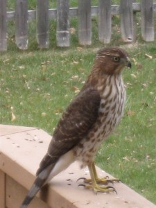 Mr. Hawk