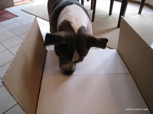 Rocky sniffing a box